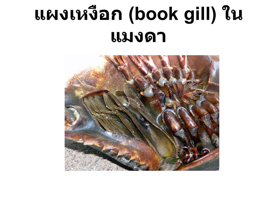 แผงเหงือก (book gill) ใน แมงดา