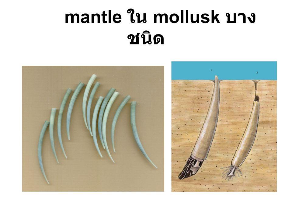 mantle ใน mollusk บาง ชนิด