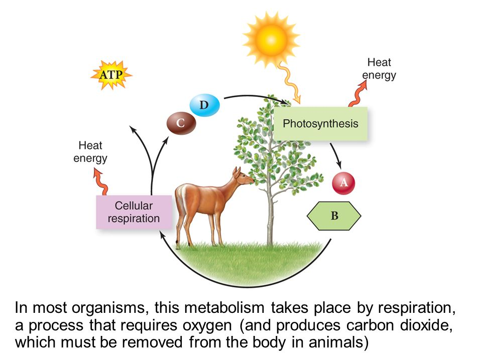 In most organisms, this metabolism takes place by respiration, a process that requires oxygen (and produces carbon dioxide, which must be removed from