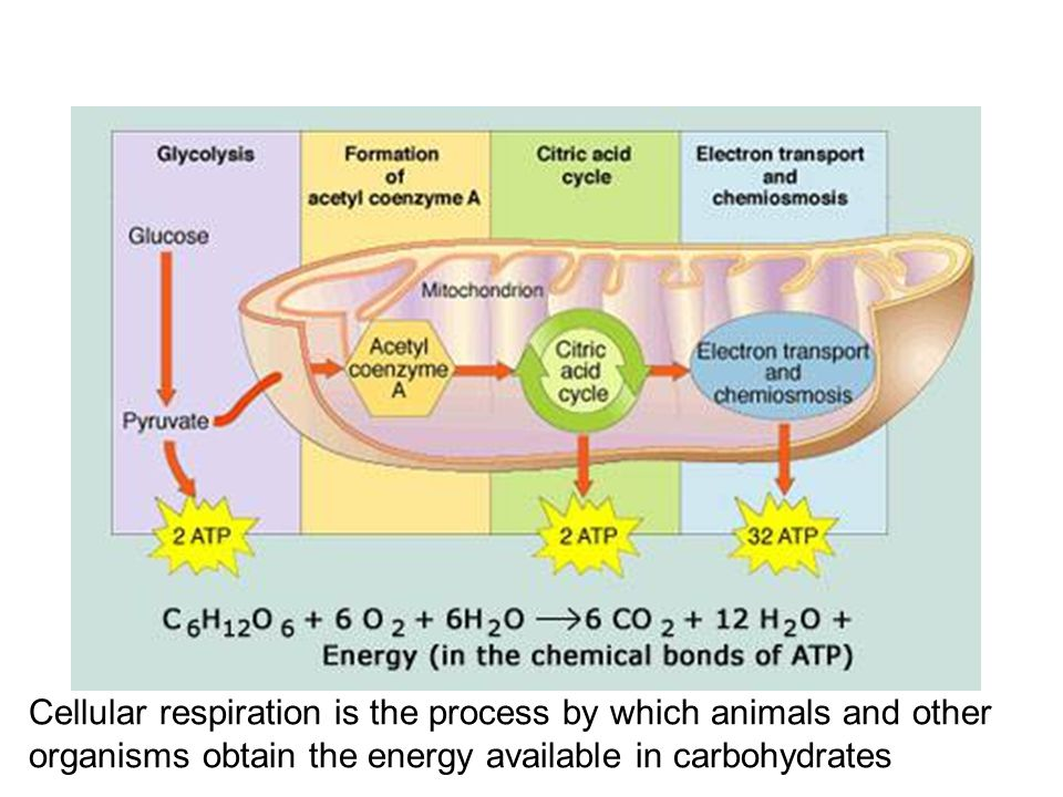 Cellular respiration is the process by which animals and other organisms obtain the energy available in carbohydrates