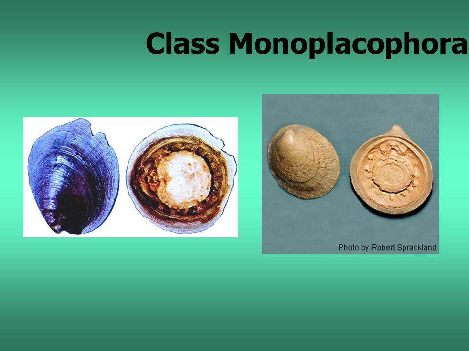 Class Monoplacophora