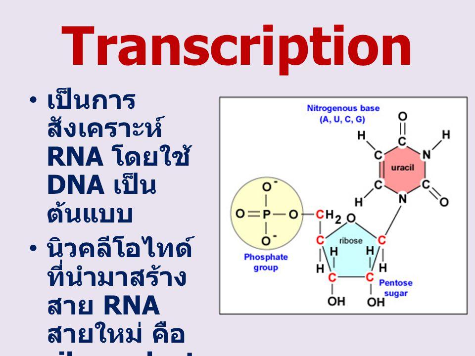 Transcription เป็นการ สังเคราะห์ RNA โดยใช้ DNA เป็น ต้นแบบ นิวคลีโอไทด์ ที่นำมาสร้าง สาย RNA สายใหม่ คือ ribonucleot ide (A U G C)