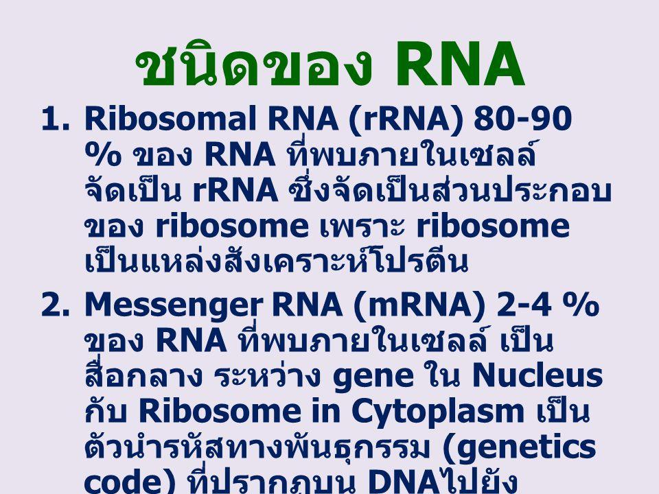 ชนิดของ RNA 1.Ribosomal RNA (rRNA) 80-90 % ของ RNA ที่พบภายในเซลล์ จัดเป็น rRNA ซึ่งจัดเป็นส่วนประกอบ ของ ribosome เพราะ ribosome เป็นแหล่งสังเคราะห์โ
