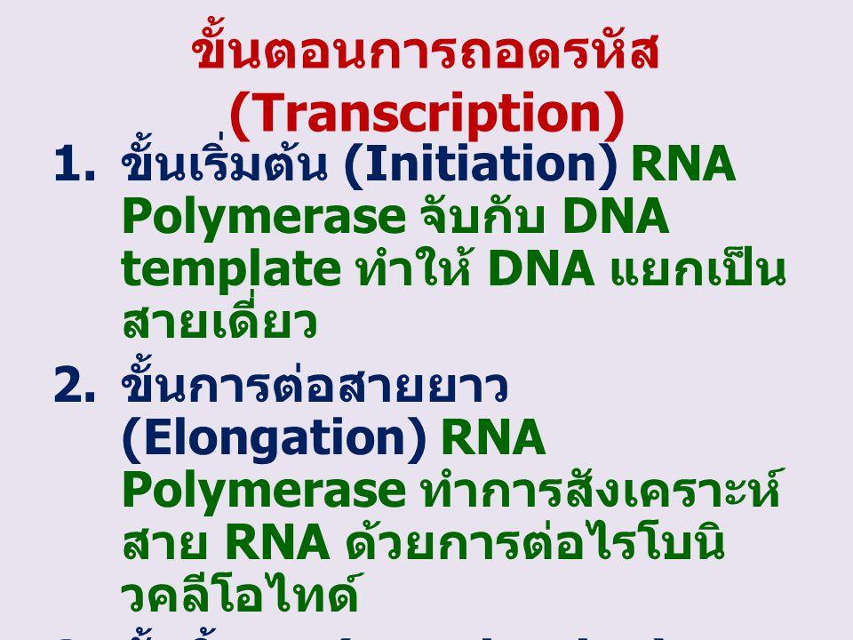 ขั้นตอนการถอดรหัส (Transcription) 1. ขั้นเริ่มต้น (Initiation) RNA Polymerase จับกับ DNA template ทำให้ DNA แยกเป็น สายเดี่ยว 2. ขั้นการต่อสายยาว (Elo