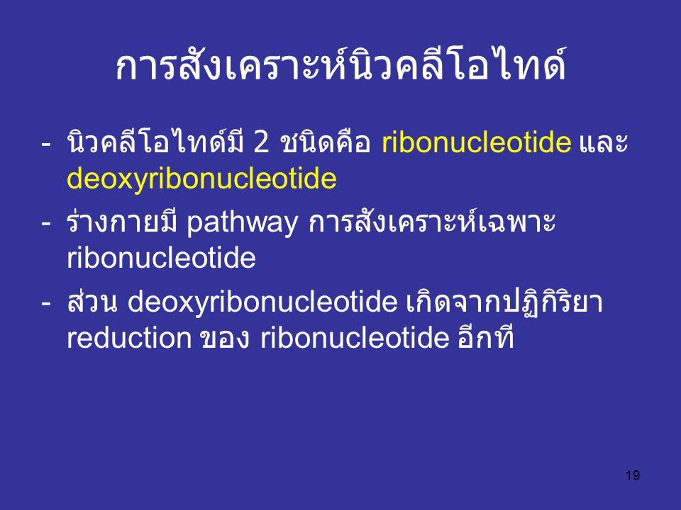 19 การสังเคราะห์นิวคลีโอไทด์ - นิวคลีโอไทด์มี 2 ชนิดคือ ribonucleotide และ deoxyribonucleotide - ร่างกายมี pathway การสังเคราะห์เฉพาะ ribonucleotide - ส่วน deoxyribonucleotide เกิดจากปฏิกิริยา reduction ของ ribonucleotide อีกที