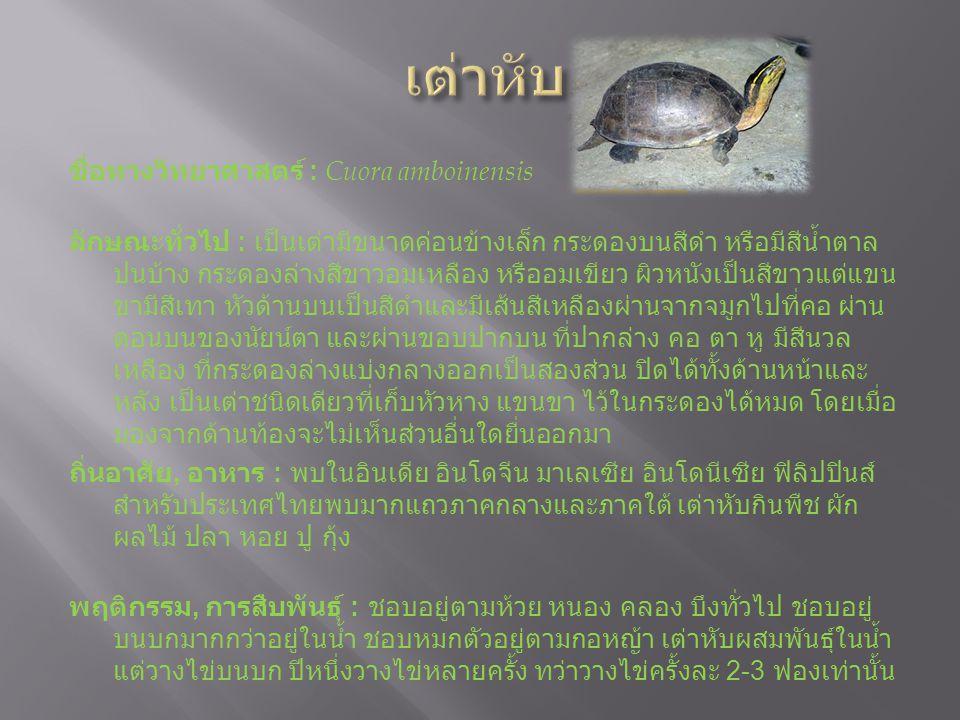 ชื่อทางวิทยาศาสตร์ : Cuora amboinensis ลักษณะทั่วไป : เป็นเต่ามีขนาดค่อนข้างเล็ก กระดองบนสีดำ หรือมีสีน้ำตาล ปนบ้าง กระดองล่างสีขาวอมเหลือง หรืออมเขียว ผิวหนังเป็นสีขาวแต่แขน ขามีสีเทา หัวด้านบนเป็นสีดำและมีเส้นสีเหลืองผ่านจากจมูกไปที่คอ ผ่าน ตอนบนของนัยน์ตา และผ่านขอบปากบน ที่ปากล่าง คอ ตา หู มีสีนวล เหลือง ที่กระดองล่างแบ่งกลางออกเป็นสองส่วน ปิดได้ทั้งด้านหน้าและ หลัง เป็นเต่าชนิดเดียวที่เก็บหัวหาง แขนขา ไว้ในกระดองได้หมด โดยเมื่อ มองจากด้านท้องจะไม่เห็นส่วนอื่นใดยื่นออกมา ถิ่นอาศัย, อาหาร : พบในอินเดีย อินโดจีน มาเลเซีย อินโดนีเซีย ฟิลิปปินส์ สำหรับประเทศไทยพบมากแถวภาคกลางและภาคใต้ เต่าหับกินพืช ผัก ผลไม้ ปลา หอย ปู กุ้ง พฤติกรรม, การสืบพันธุ์ : ชอบอยู่ตามห้วย หนอง คลอง บึงทั่วไป ชอบอยู่ บนบกมากกว่าอยู่ในน้ำ ชอบหมกตัวอยู่ตามกอหญ้า เต่าหับผสมพันธุ์ในน้ำ แต่วางไข่บนบก ปีหนึ่งวางไข่หลายครั้ง ทว่าวางไข่ครั้งละ 2-3 ฟองเท่านั้น สถานภาพปัจจุบัน : เป็นสัตว์ป่าคุ้มครอง ตามพระราชบัญญัติสงวนและ คุ้มครองสัตว์ป่า พุทธศักราช 2535 สถานที่ชม : สวนสัตว์ดุสิต, สวนสัตว์นครราชสีมา, สวนสัตว์เชียงใหม่