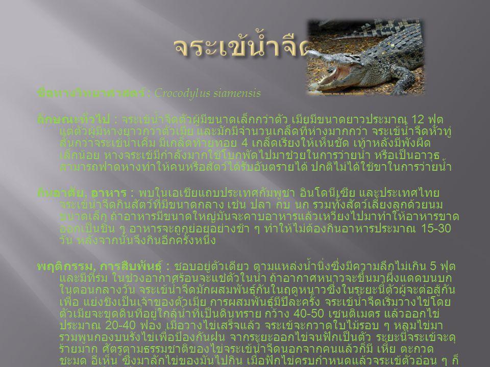 ชื่อทางวิทยาศาสตร์ : Crocodylus siamensis ลักษณะทั่วไป : จระเข้น้ำจืดตัวผู้มีขนาดเล็กกว่าตัว เมียมีขนาดยาวประมาณ 12 ฟุต แต่ตัวผู้มีหางยาวกว่าตัวเมีย และมักมีจำนวนเกล็ดที่ห่างมากกว่า จระเข้น้ำจืดหัวทู่ สั้นกว่าจระเข้น้ำเค็ม มีเกล็ดท้ายทอย 4 เกล็ดเรียงให้เห็นชัด เท้าหลังมีพังผืด เล็กน้อย หางจระเข้มีกำลังมากใช้โบกพัดไปมาช่วยในการว่ายน้ำ หรือเป็นอาวุธ สามารถฟาดหางทำให้คนหรือสัตว์ได้รับอันตรายได้ ปกติไม่ได้ใช้ขาในการว่ายน้ำ ถิ่นอาศัย, อาหาร : พบในเอเชียแถบประเทศกัมพูชา อินโดนีเซีย และประเทศไทย จระเข้น้ำจืดกินสัตว์ที่มีขนาดกลาง เช่น ปลา กบ นก รวมทั้งสัตว์เลี้ยงลูกด้วยนม ขนาดเล็ก ถ้าอาหารมีขนาดใหญ่มันจะคาบอาหารแล้วเหวี่ยงไปมาทำให้อาหารขาด ออกเป็นชิ้น ๆ อาหารจะถูกย่อยอย่างช้า ๆ ทำให้ไม่ต้องกินอาหารประมาณ 15-30 วัน หลังจากนั้นจึงกินอีกครั้งหนึ่ง พฤติกรรม, การสืบพันธุ์ : ชอบอยู่ตัวเดียว ตามแหล่งน้ำนิ่งซึ่งมีความลึกไม่เกิน 5 ฟุต และมีที่ร่ม ในช่วงอากาศร้อนจะแช่ตัวในน้ำ ถ้าอากาศหนาวจะขึ้นมาผึ่งแดดบนบก ในตอนกลางวัน จระเข้น้ำจืดมักผสมพันธุ์กันในฤดูหนาวซึ่งในระยะนี้ตัวผู้จะต่อสู้กัน เพื่อ แย่งชิงเป็นเจ้าของตัวเมีย การผสมพันธุ์มีปีละครั้ง จระเข้น้ำจืดเริ่มวางไข่โดย ตัวเมียจะขุดดินที่อยู่ใกล้น้ำที่เป็นดินทราย กว้าง 40-50 เซนติเมตร แล้วออกไข่ ประมาณ 20-40 ฟอง เมื่อวางไข่เสร็จแล้ว จระเข้จะกวาดใบไม้รอบ ๆ หลุมไข่มา รวมพูนกองบนรังไข่เพื่อป้องกันฝน จากระยะออกไข่จนฟักเป็นตัว ระยะนี้จระเข้จะดุ ร้ายมาก ศัตรูตามธรรมชาติของไข่จระเข้น้ำจืดนอกจากคนแล้วก็มี เหี้ย ตะกวด ชะมด อีเห็น ซึ่งมาลักไข่ของมันไปกิน เมื่อฟักไข่ครบกำหนดแล้วจระเข้ตัวอ่อน ๆ ก็ จะเจาะเปลือกไข่ออกมาเอง สถานภาพปัจจุบัน : เป็นสัตว์ป่าคุ้มครอง ตามพระราชบัญญัติสงวนและคุ้มครองสัตว์ ป่า พุทธศักราช 2535 สถานที่ชม : สวนสัตว์ดุสิต, สวนสัตว์เปิดเขาเขียว, สวนสัตว์นครราชสีมา, สวนสัตว์ เชียงใหม่, สวนสัตว์สงขลา