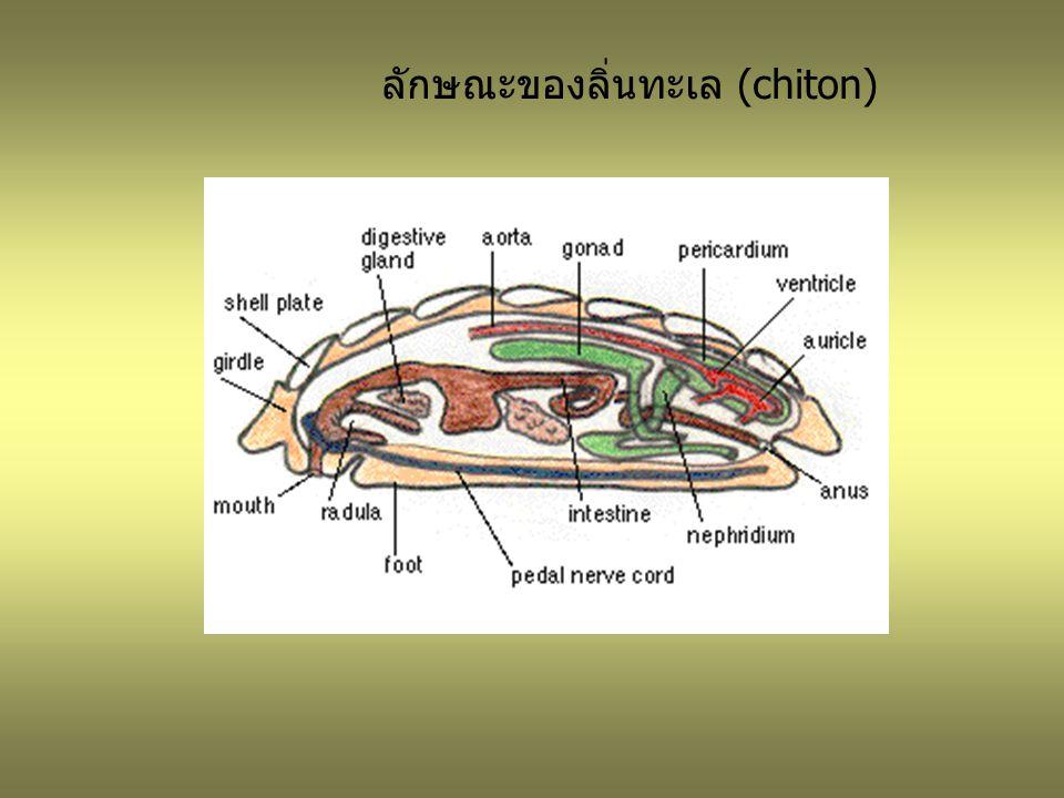 ลักษณะของลิ่นทะเล (chiton)