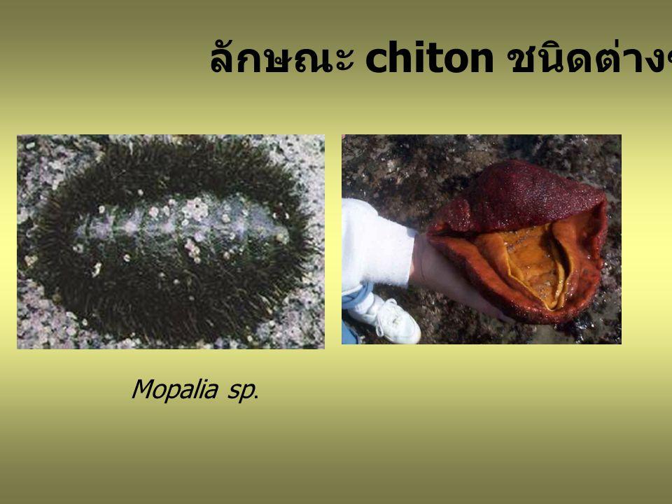 Mopalia sp. ลักษณะ chiton ชนิดต่างๆ