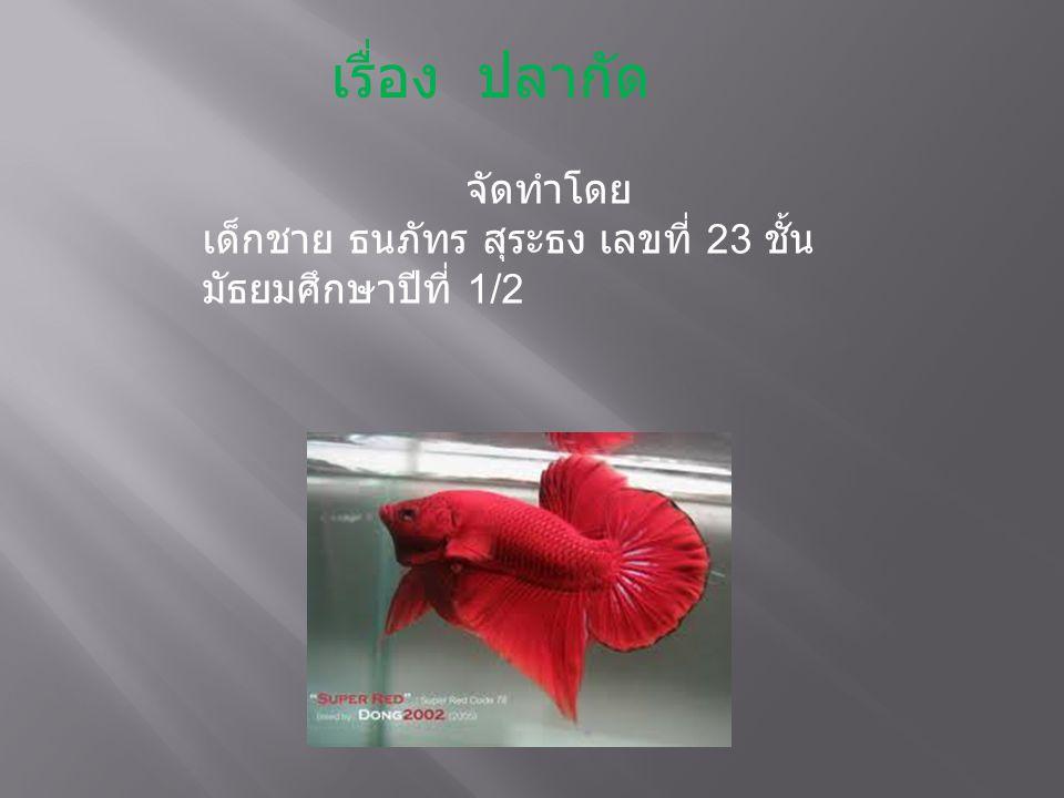  เป็นชื่อที่ใช้เรียกปลากัดครีบยาวมาช้านาน เข้าใจว่าอาจมาจากลักษณะครีบที่ยาว รุ่ยร่ายสีฉูดฉาดเหมือนงิ้วจีน ปลากัดจีน เป็นปลาที่พัฒนาสายพันธุ์มาจากปลา ลูกหม้อ โดยผสมคัดพันธุ์ให้ได้ลักษณะที่มี ครีบและหางยาวขึ้น ความยาวของครีบหาง ส่วนใหญ่จะยาวเท่ากับ หรือมากกว่าความ ยาวของลำตัวและหัวรวมกัน และมีการ พัฒนาให้ได้สีใหม่ ๆ และสวยงาม โดยนัก เพาะเลี้ยงปลากัดชาวไทย ซึ่งได้พัฒนา สายพันธุ์สำเร็จมาช้านาน ก่อนที่ปลากัดจะ ถูกนำไปเลี้ยงในต่างประเทศ แต่ไม่มีการ บันทึกไว้ว่า การพัฒนาปลากัดสายพันธุ์นี้ เกิดขึ้นตั้งแต่เมื่อใด ปลากัดชนิดนี้เป็นชนิด ที่นิยมเลี้ยงเป็นปลาสวยงามแพร่หลายไป ทั่วโลก และได้มีการนำไปพัฒนาสายพันธุ์ ต่อเนื่อง จนได้สายพันธุ์ที่มีลักษณะใหม่ ๆ ออกมาอีกมากมาย