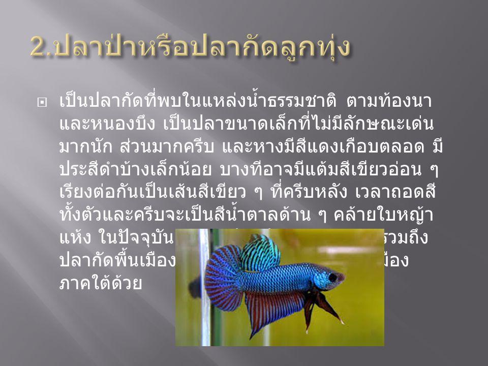  เป็นปลากัดที่นักเพาะพันธุ์ปลาได้นำมาคัดสายพันธุ์ โดย มุ่งหวังจะได้ปลาที่กัดเก่ง จากบันทึกคำบอกเล่าของหลวง อัมรินทร์สมบัติ ( ครอบ สุวรรณนคร ) ซึ่งเป็นนักเลงปลาเก่า เชื่อว่า ปลาสังกะสีและปลาลูกหม้อน่าจะได้รับการ พัฒนาขึ้นเมื่อ พ.