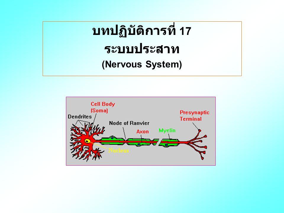 บทปฏิบัติการที่ 17 ระบบประสาท (Nervous System)