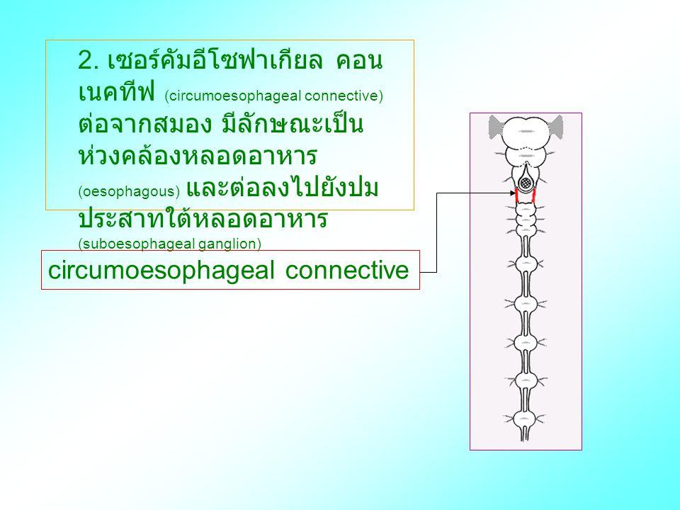 2. เซอร์คัมอีโซฟาเกียล คอน เนคทีฟ (circumoesophageal connective) ต่อจากสมอง มีลักษณะเป็น ห่วงคล้องหลอดอาหาร (oesophagous) และต่อลงไปยังปม ประสาทใต้หลอ
