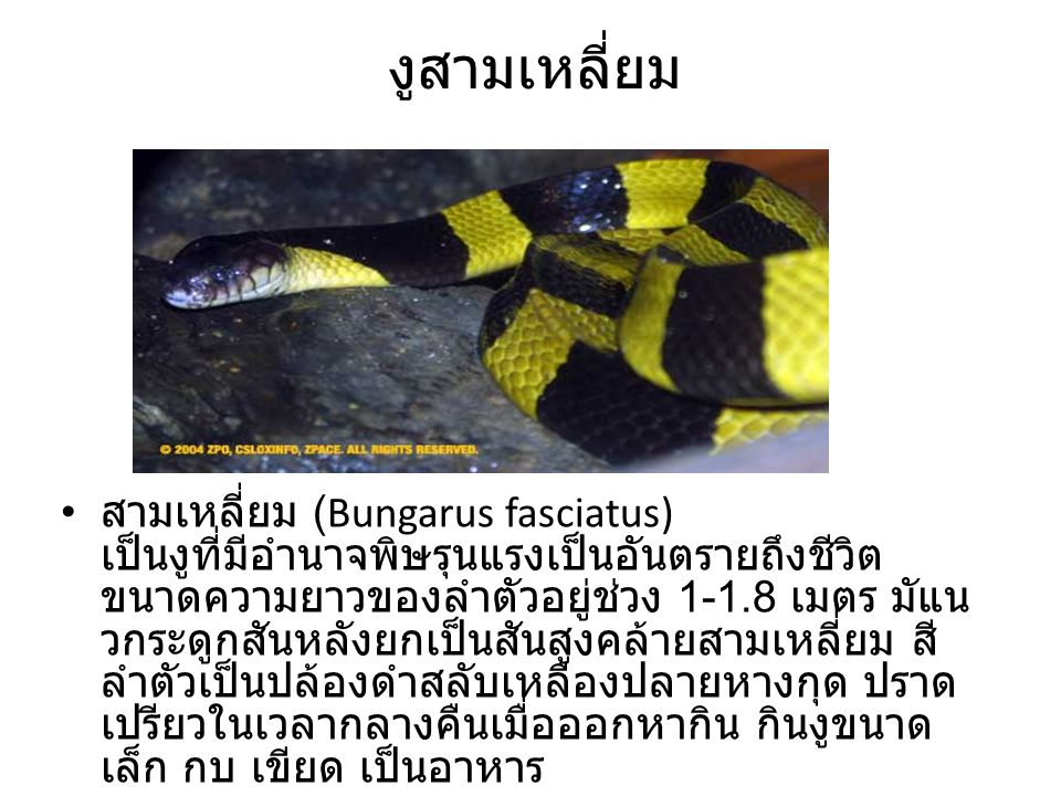 สามเหลี่ยม (Bungarus fasciatus) เป็นงูที่มีอำนาจพิษรุนแรงเป็นอันตรายถึงชีวิต ขนาดความยาวของลำตัวอยู่ช่วง 1-1.8 เมตร มัแน วกระดูกสันหลังยกเป็นสันสูงคล้