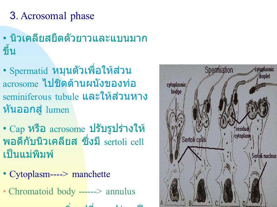 Jump to first page 3. Acrosomal phase นิวเคลียสยืดตัวยาวและแบนมาก ขึ้น Spermatid หมุนตัวเพื่อให้ส่วน acrosome ไปชิดด้านผนังของท่อ seminiferous tubule