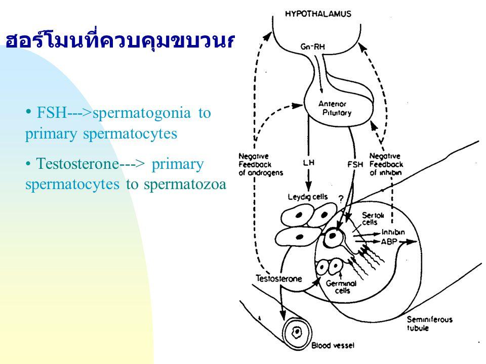 Jump to first page ฮอร์โมนที่ควบคุมขบวนการสร้างอสุจิ Fig7-10; Hafez (1993) FSH--->spermatogonia to primary spermatocytes Testosterone---> primary sper