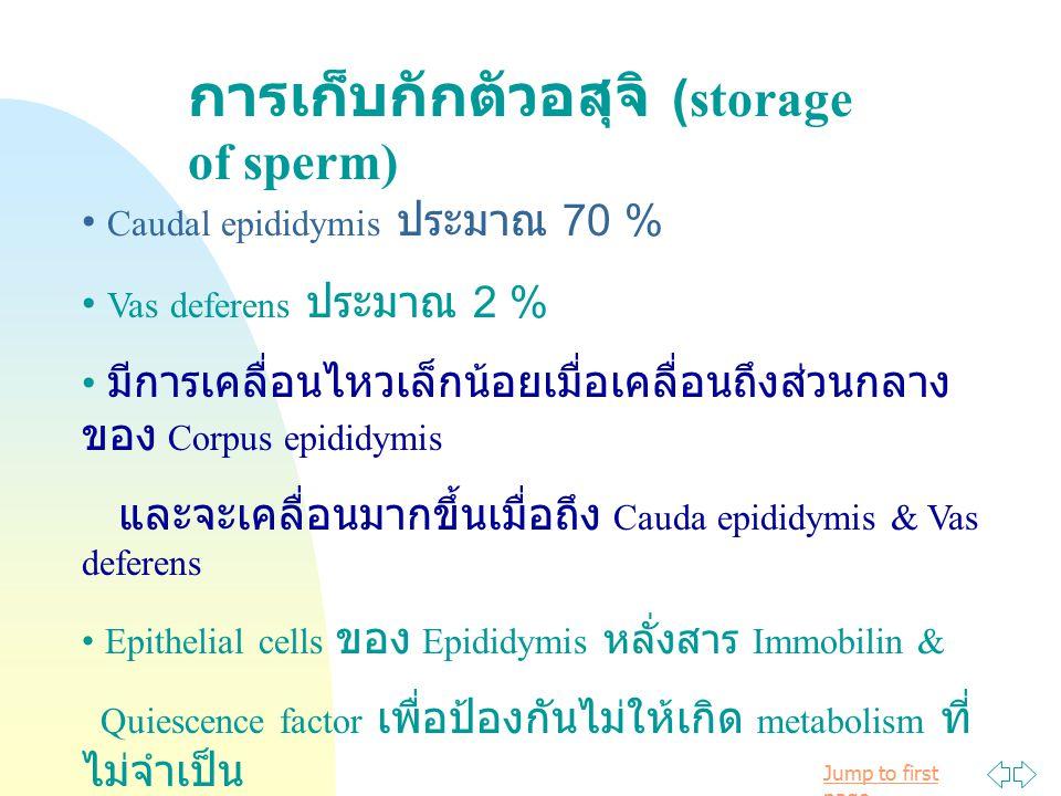 Jump to first page การเก็บกักตัวอสุจิ (storage of sperm) Caudal epididymis ประมาณ 70 % Vas deferens ประมาณ 2 % มีการเคลื่อนไหวเล็กน้อยเมื่อเคลื่อนถึงส