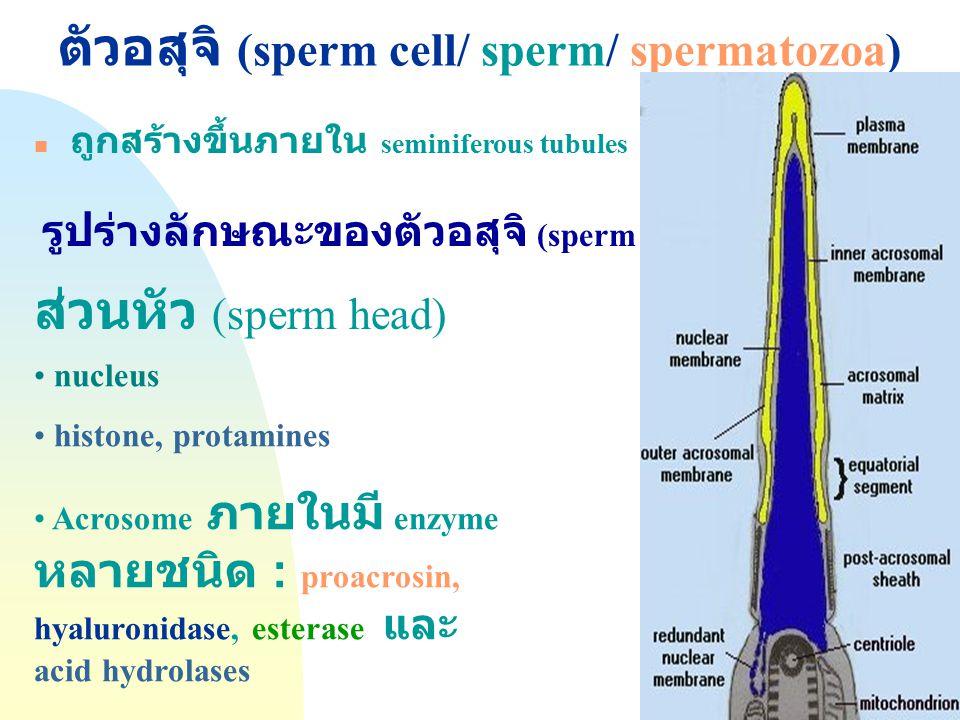 Jump to first page ตัวอสุจิ (sperm cell/ sperm/ spermatozoa) ถูกสร้างขึ้นภายใน seminiferous tubules รูปร่างลักษณะของตัวอสุจิ (sperm morphology) ส่วนหั