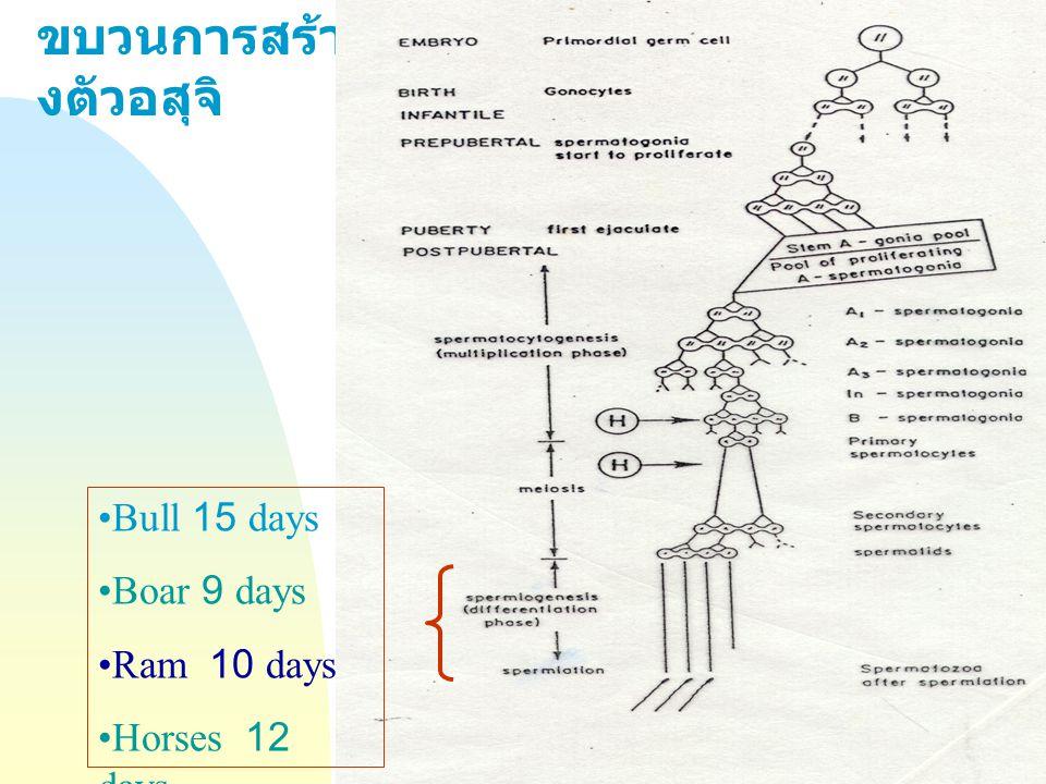Jump to first page ขบวนการสร้า งตัวอสุจิ Bull 15 days Boar 9 days Ram 10 days Horses 12 days