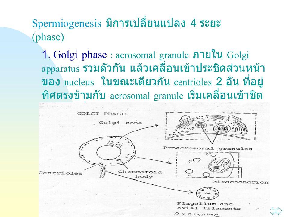Jump to first page Spermiogenesis มีการเปลี่ยนแปลง 4 ระยะ (phase) 1. Golgi phase : acrosomal granule ภายใน Golgi apparatus รวมตัวกัน แล้วเคลื่อนเข้าปร