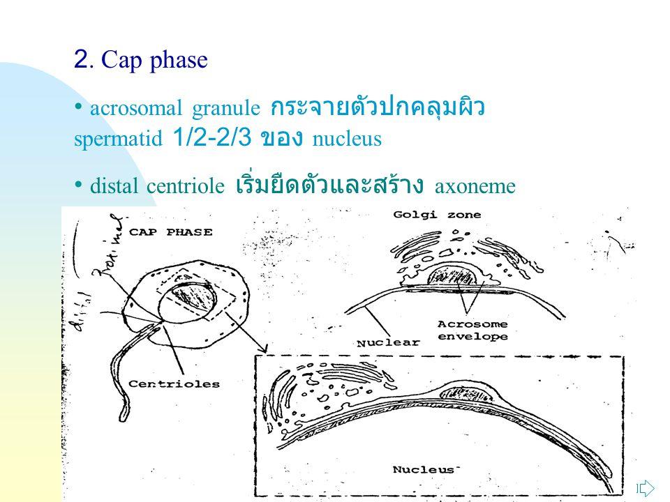Jump to first page 2. Cap phase acrosomal granule กระจายตัวปกคลุมผิว spermatid 1/2-2/3 ของ nucleus distal centriole เริ่มยืดตัวและสร้าง axoneme