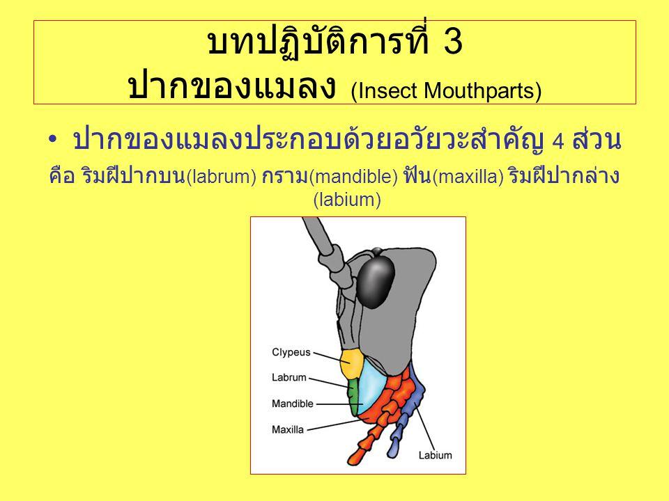 บทปฏิบัติการที่ 3 ปากของแมลง (Insect Mouthparts) ปากของแมลงประกอบด้วยอวัยวะสำคัญ 4 ส่วน คือ ริมฝีปากบน (labrum) กราม (mandible) ฟัน (maxilla) ริมฝีปาก