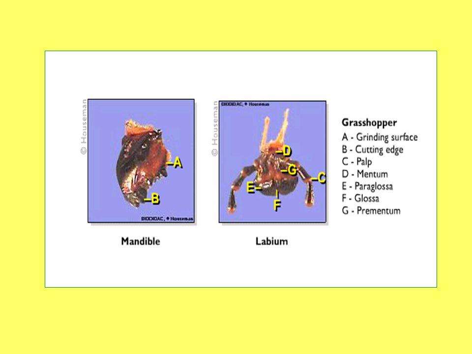 แมลงมีปากที่แตกต่างกันไปตามลักษณะการกิน อาหาร แบ่งได้ดังนี้ - ปากกัดกิน (chewing) ตั๊กแตน แมลงสาบ ด้วง หนอนผีเสื้อ