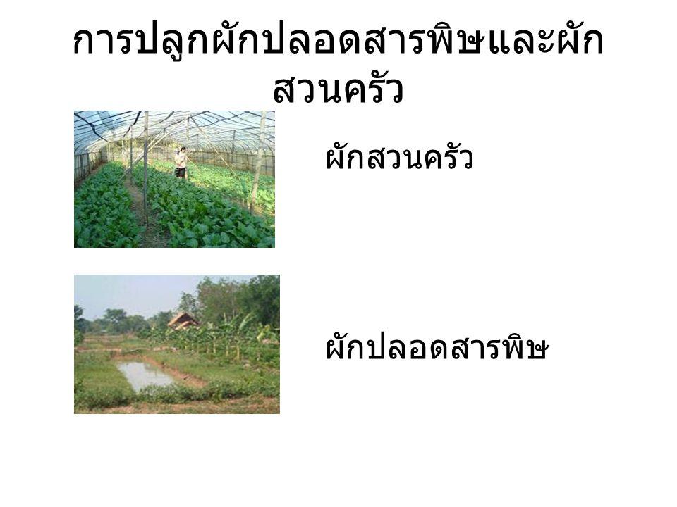การปลูกผักปลอดสารพิษและผัก สวนครัว ผักสวนครัว ผักปลอดสารพิษ