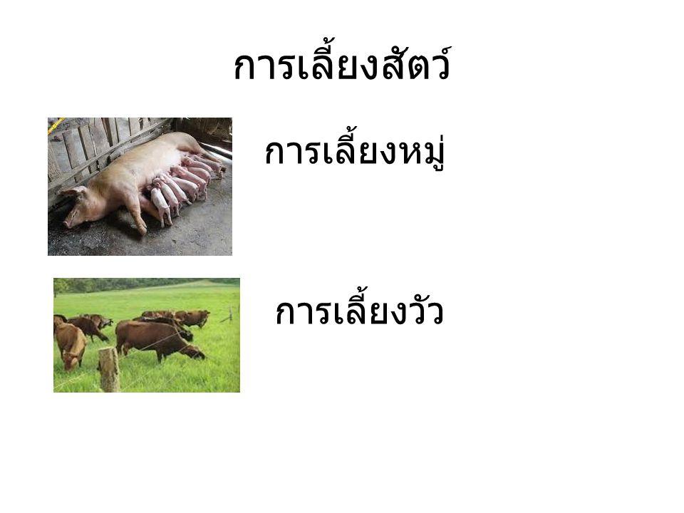 การเลี้ยงสัตว์ การเลี้ยงหมู่ การเลี้ยงวัว