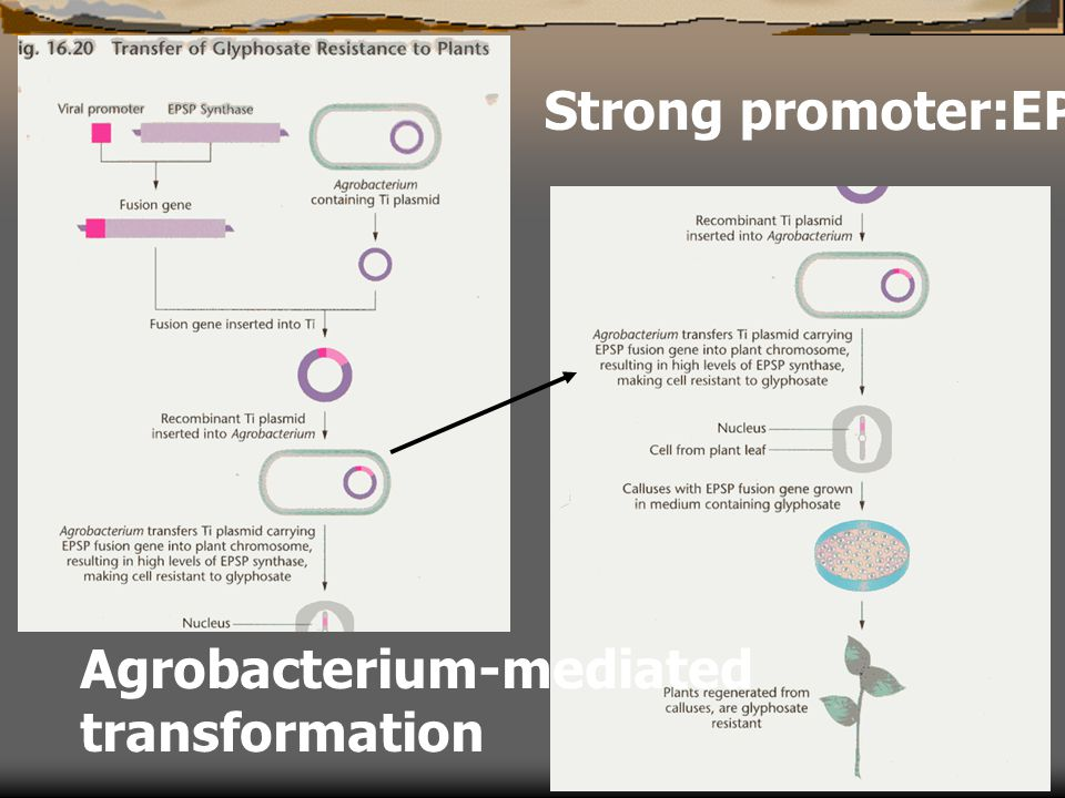 Strong promoter:EPSPS gene Agrobacterium-mediated transformation