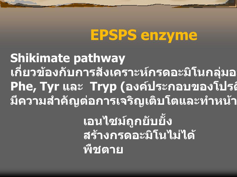 EPSPS enzyme Shikimate pathway เกี่ยวข้องกับการสังเคราะห์กรดอะมิโนกลุ่มอะโรมาติก Phe, Tyr และ Tryp ( องค์ประกอบของโปรตีน ลิกนิน และอื่นๆ มีความสำคัญต่