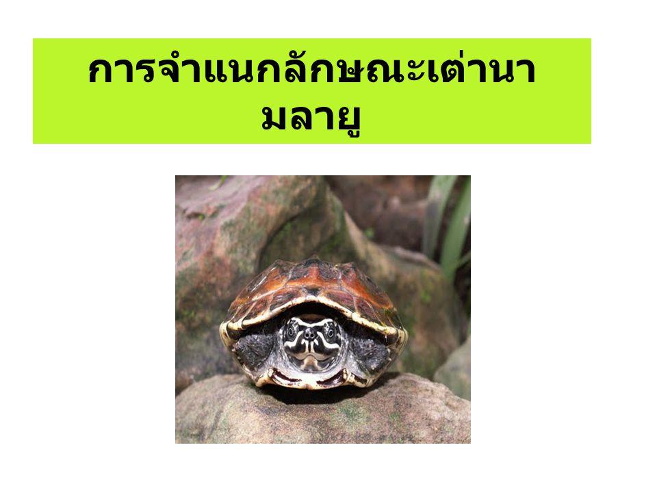เต่านามลายู (Malayemys macrocephala) เต่านามลายู ( Malayemys macrocephala) เป็นสัตว์ป่า คุ้มครอง ตามกฎกระทรวง กำหนดให้สัตว์ป่าบางชนิดเป็นสัตว์ ป่าคุ้มครอง ( ฉบับที่ 3) พ.