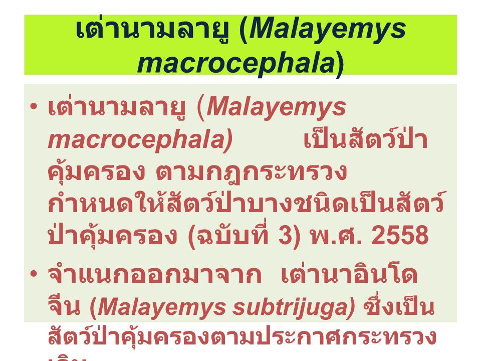 เต่านามลายู (Malayemys macrocephala) เต่านามลายู ( Malayemys macrocephala) เป็นสัตว์ป่า คุ้มครอง ตามกฎกระทรวง กำหนดให้สัตว์ป่าบางชนิดเป็นสัตว์ ป่าคุ้ม