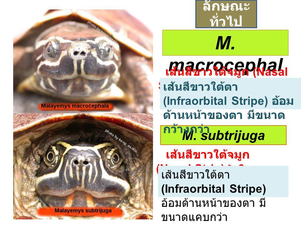 M. macrocephal a M. subtrijuga เส้นสีขาวใต้จมูก (Nasal Strip) ≤ 4 เส้นสีขาวใต้จมูก (Nasal Strip) ≥ 6 เส้นสีขาวใต้ตา (Infraorbital Stripe) อ้อม ด้านหน้