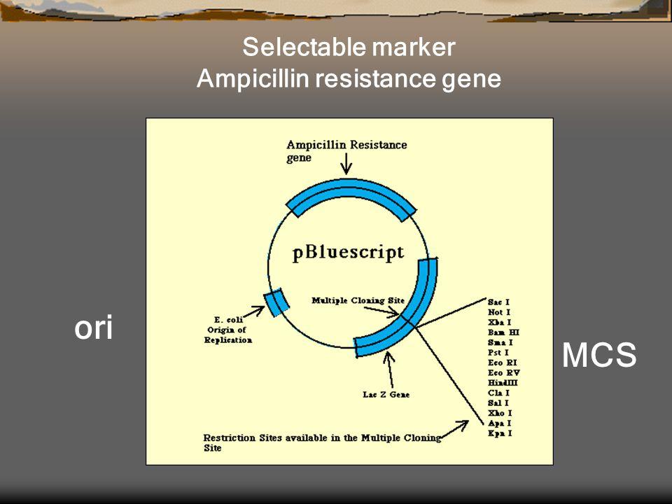 Selectable marker Ampicillin resistance gene ori MCS