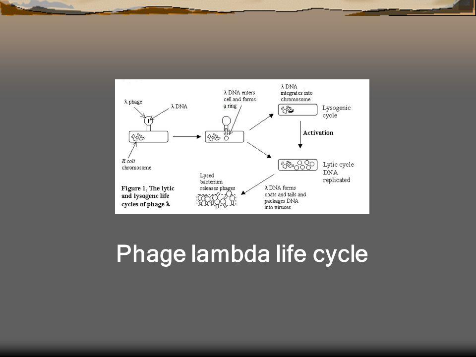 Phage lambda life cycle