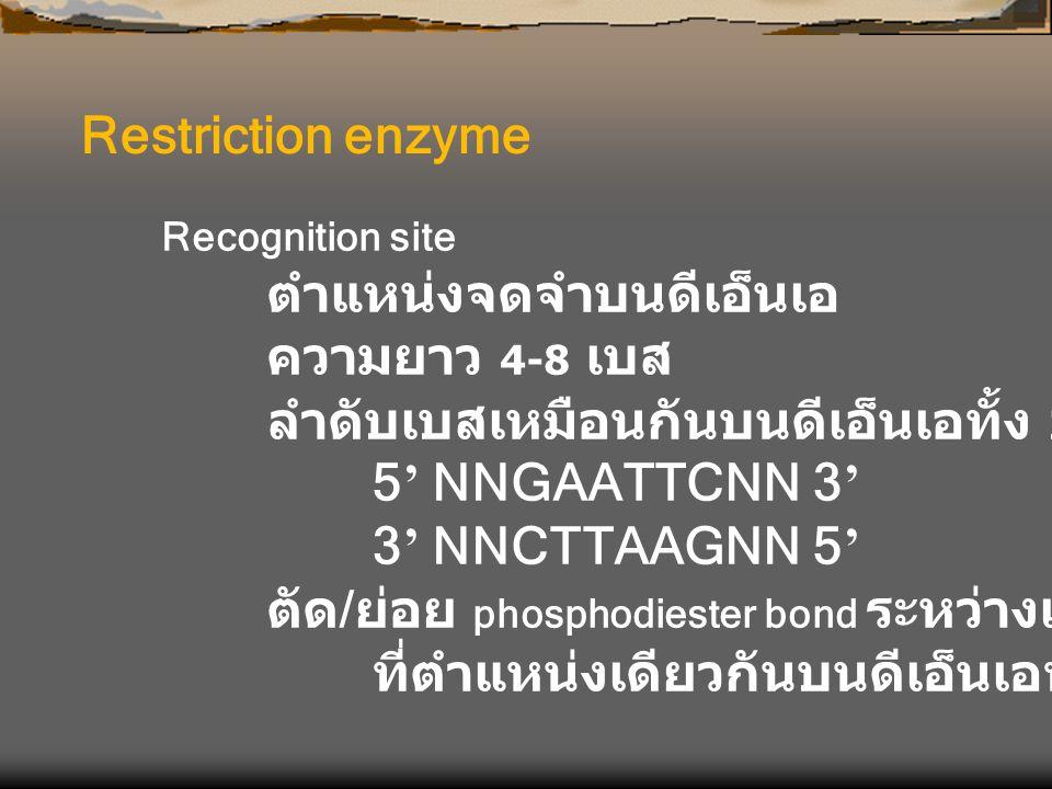 Restriction enzyme Recognition site ตำแหน่งจดจำบนดีเอ็นเอ ความยาว 4-8 เบส ลำดับเบสเหมือนกันบนดีเอ็นเอทั้ง 2 เส้น 5 ' NNGAATTCNN 3 ' 3 ' NNCTTAAGNN 5 '