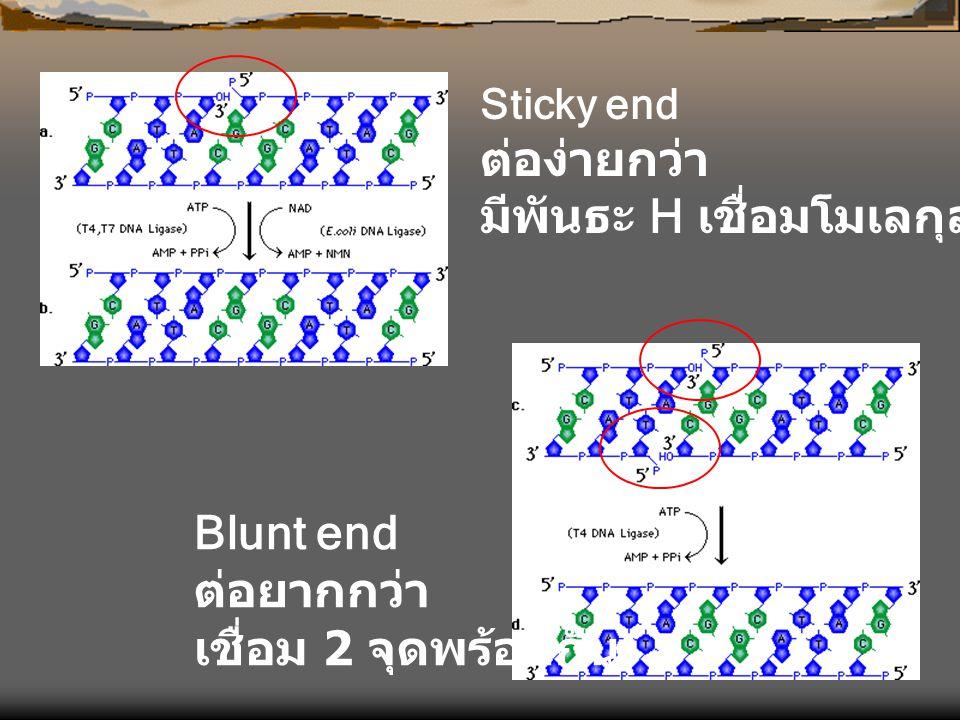 Sticky end ต่อง่ายกว่า มีพันธะ H เชื่อมโมเลกุล Blunt end ต่อยากกว่า เชื่อม 2 จุดพร้อมกัน