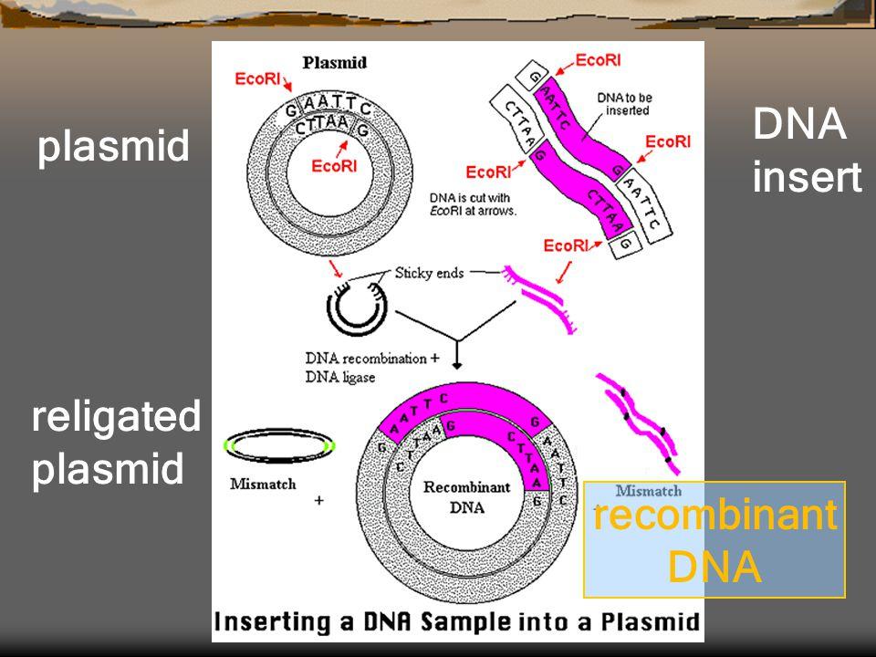 plasmid DNA insert religated plasmid recombinant DNA