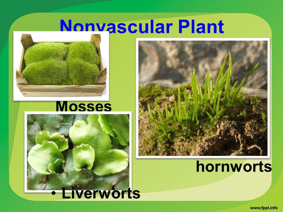 Nonvascular Plant Mosses hornworts Liverworts