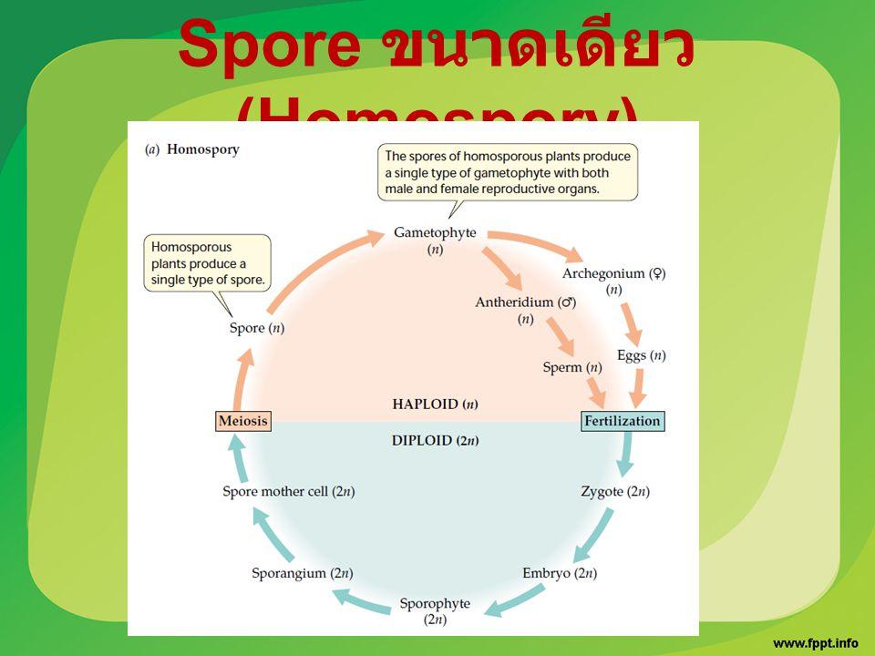 Spore ขนาดเดียว (Homospory)