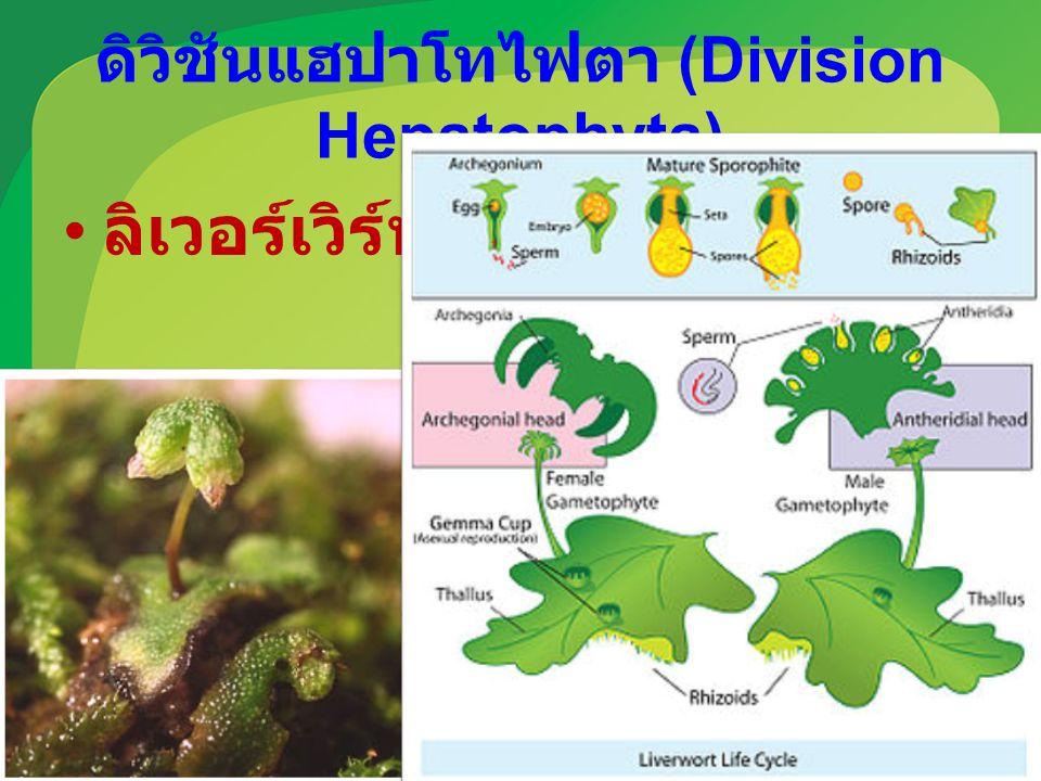 ดิวิชันแฮปาโทไฟตา (Division Hepatophyta) ลิเวอร์เวิร์ท