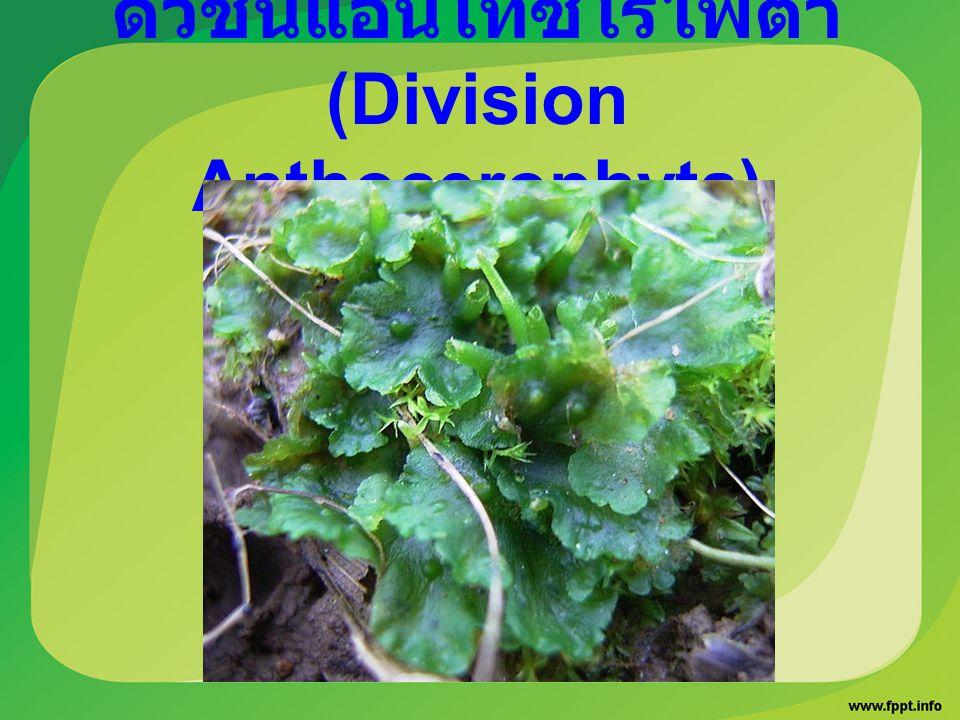 ดิวิชันแอนโทซีโรไฟตา (Division Anthocerophyta)
