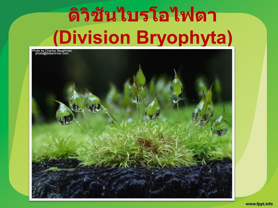 ดิวิชันไบรโอไฟตา (Division Bryophyta)