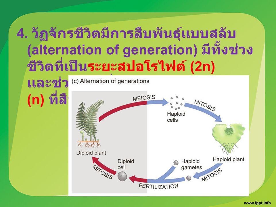 4. วัฏจักรชีวิตมีการสืบพันธุ์เเบบสลับ (alternation of generation) มีทั้งช่วง ชีวิตที่เป็นระยะสปอโรไฟต์ (2n) เเละช่วงชีวิตที่เป็น ระยะเเกมีโทไฟต์ (n) ท