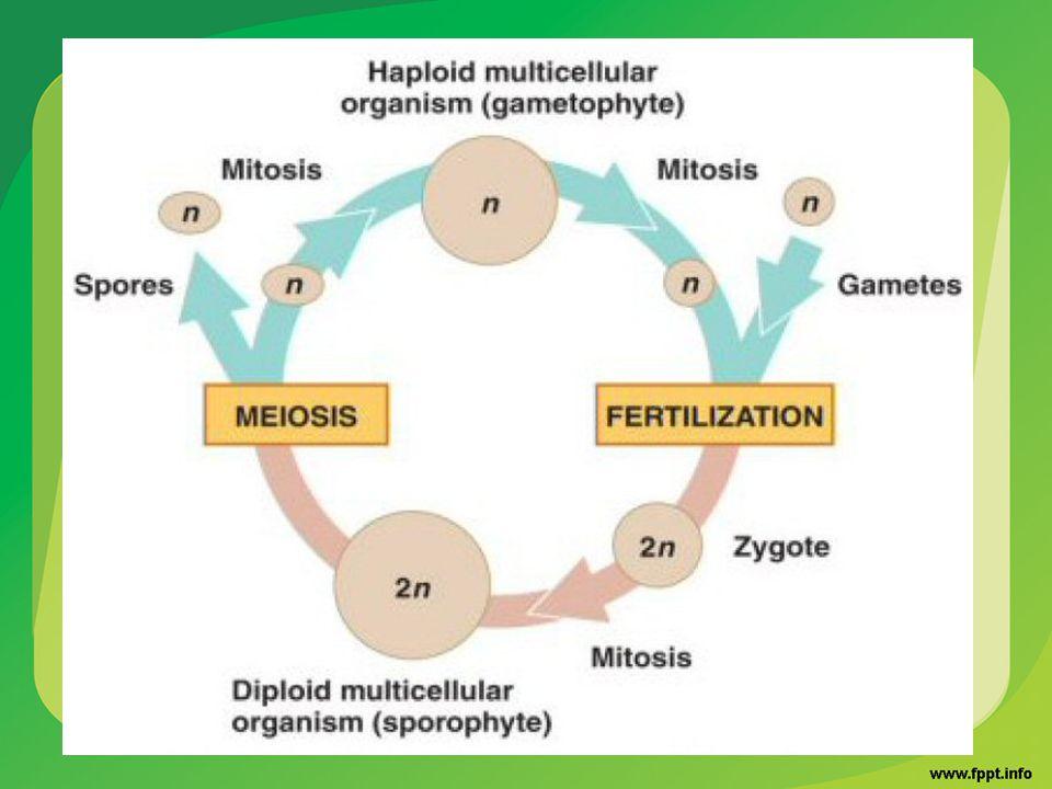ไรซอยด์ (rhizoid) สำหรับยึดต้นให้ติดกับ ดินและช่วยดูดน้ำและแร่ธาตุ ส่วนคล้ายใบ เรียก phylloid ส่วนคล้ายลำต้นเรียกว่า cauloid แกมีโทไฟต์ของไบรโอไฟต์มีสีเขียวเพราะมี คลอโรฟิลล์สามารถสร้างอาหารได้เอง เมื่อแกมีโทไฟต์เจริญเต็มที่จะสร้างเซลล์ สืบพันธุ์คือสเปิร์ม และไข่ ภายหลังการปฏิสนธิของสเปิร์มและ ไข่จะได้ไซโกตซึ่งแบ่งตัวเจริญต่อไปเป็น เอ็มบริโอและสปอร์โรไฟต์ตามลำดับ สปอโรไฟต์ของไบรโอไฟต์มีรูปร่างลักษณะ ง่าย ๆ ไม่สามารถอยู่ได้อย่างอิสระจะต้อง อาศัยอยู่บนแกมีโทไฟต์ตลอดชีวิต