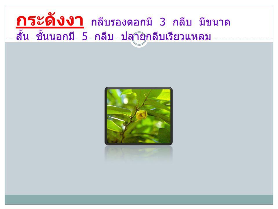 กระดังงา กลีบรองดอกมี 3 กลีบ มีขนาด สั้น ชั้นนอกมี 5 กลีบ ปลายกลีบเรียวแหลม