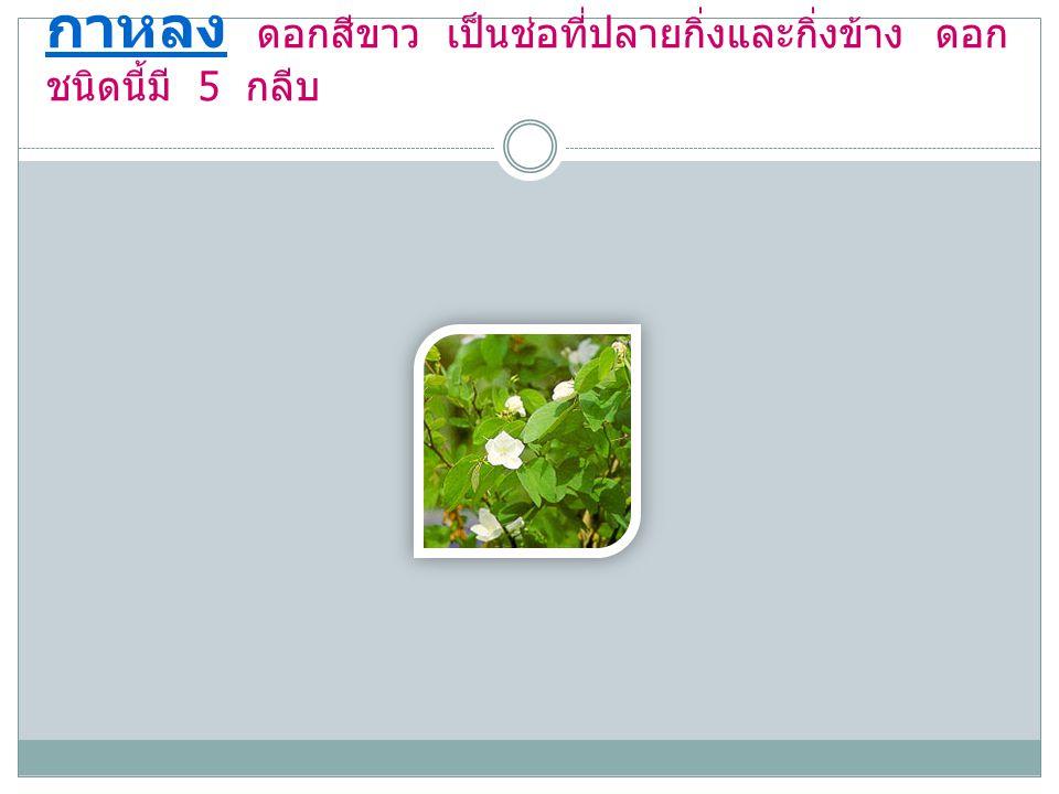 กาหลง ดอกสีขาว เป็นช่อที่ปลายกิ่งและกิ่งข้าง ดอก ชนิดนี้มี 5 กลีบ