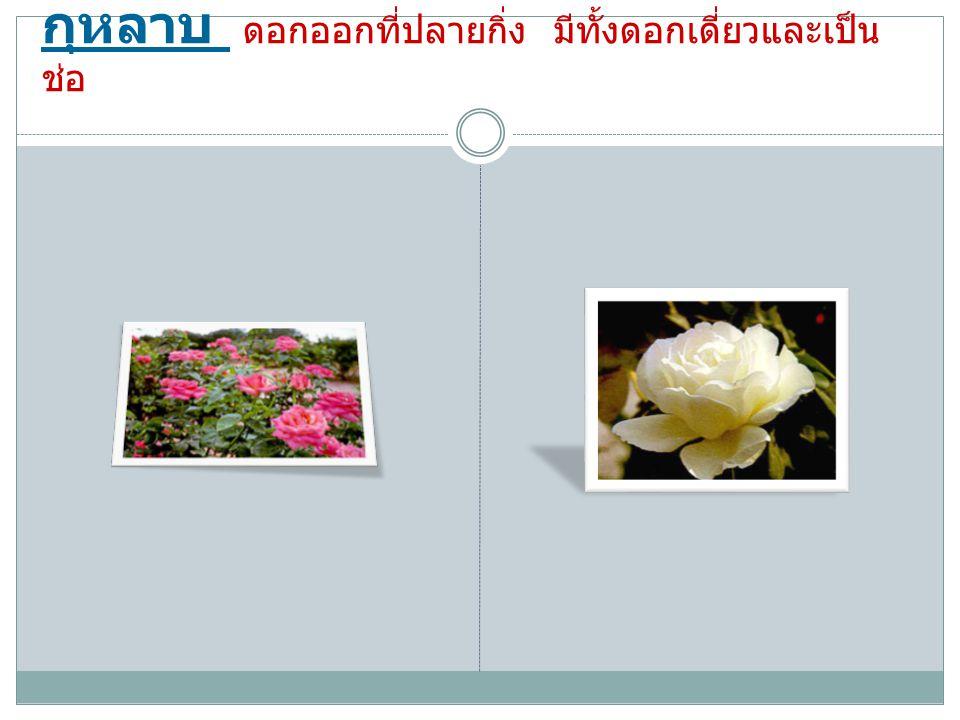 กุหลาบ ดอกออกที่ปลายกิ่ง มีทั้งดอกเดี่ยวและเป็น ช่อ