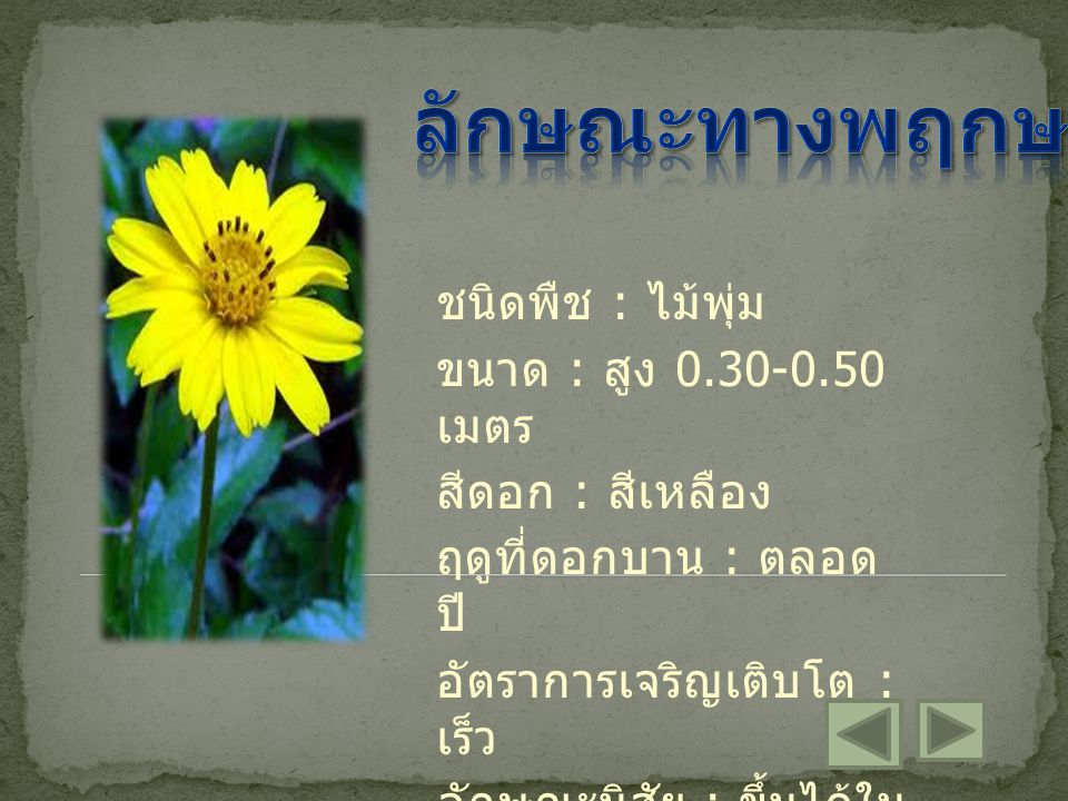 ชนิดพืช : ไม้พุ่ม ขนาด : สูง 0.30-0.50 เมตร สีดอก : สีเหลือง ฤดูที่ดอกบาน : ตลอด ปี อัตราการเจริญเติบโต : เร็ว ลักษณะนิสัย : ขึ้นได้ใน ดินทั่วไป
